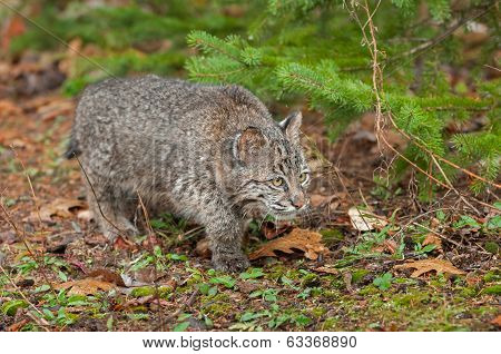 Bobcat Kitten (Lynx rufus) Stalks Along The Ground