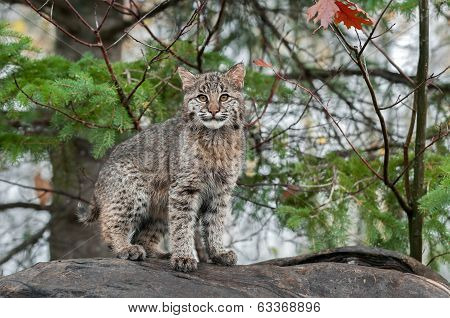 Bobcat Kitten (Lynx rufus) Stares At Viewer From Atop Log