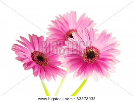Three pink Gerber Daisy with stem, isolated on white.