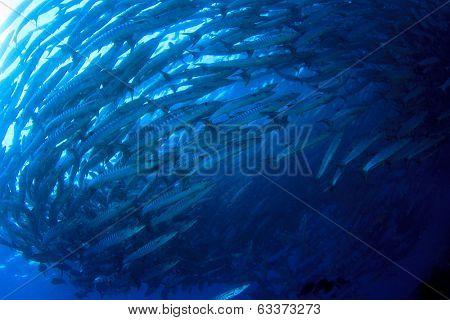 Chevron Barracuda Fish on Sipadan Reef, Malaysia
