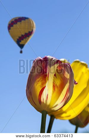 Yellow And Red Tulips With Hot Air Balloon