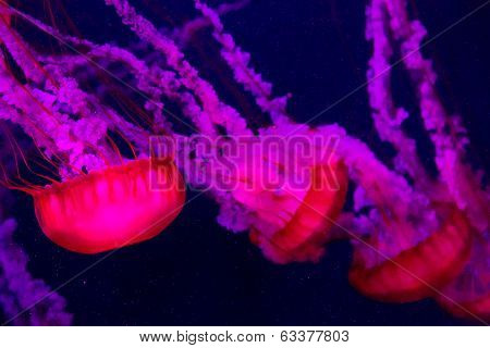 Beautiful Jellyfish Moving Slowly In Aquarium In Dubai