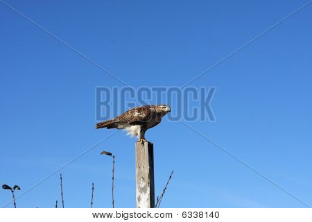 Redtailed Hawk On Post