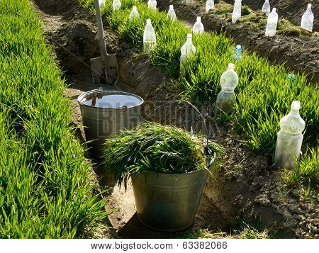 two buckets and spade in irrigation ditch between vegetable beds with growing wheat as green manure and some bottles as small hothouses for growing seedlings