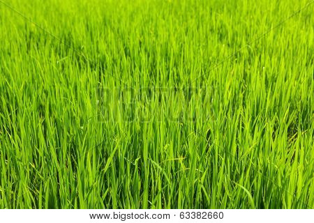 Rice paddy field close up. Tamil Nadu, India