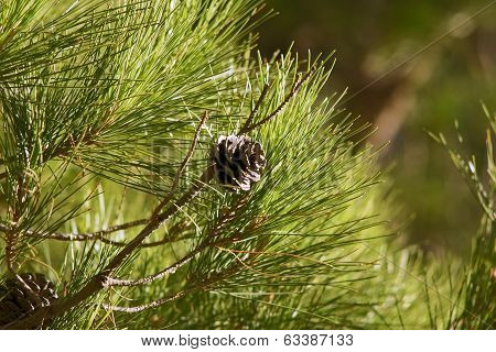 Stone pine - twig with cone