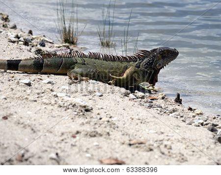 Green Iguana Heading to Lake