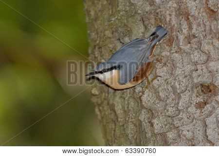 Nuthatch Bird In Natural Habitat (sitta Europaea)