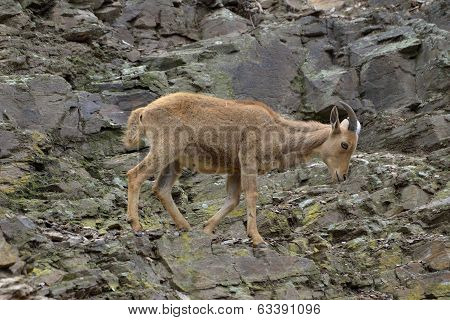 Mountain Goat On The Rocks