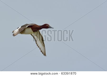 Ferruginous Duck - Aythya Nyroca