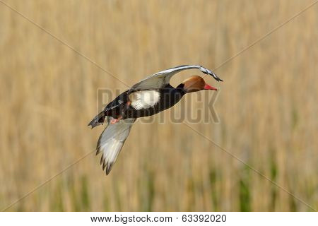 Red crested pochard (Netta Rufina), in natural habitat