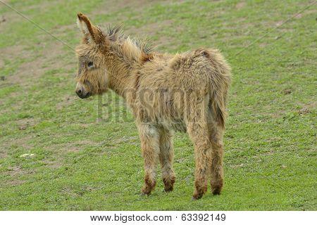 Young Donkey (equus Africanus Asinus)