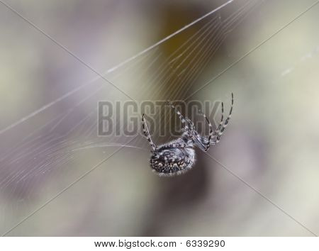 Close-up Of Hunting Spider
