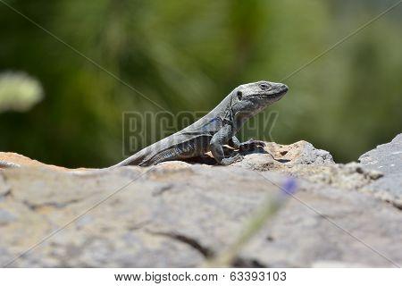 Tenerife Lizard (gallotia Galloti) In Natural Habitat
