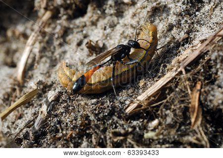 vespa icneumonide (Ichneumon fusarius) che ha predato bruco