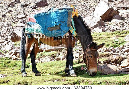 Mule Grazind Grass