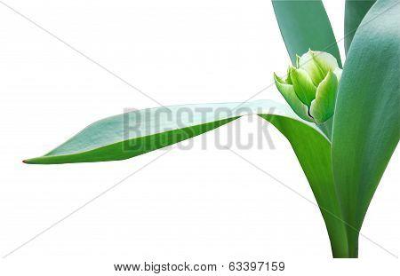 Small Tulip