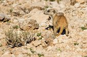 Suricate Dig For Food In Desert Sand During Early Morning Sun