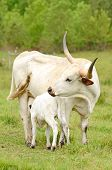 image of longhorn  - Young Texas Longhorn calves in the pasture on a warm summer morning - JPG