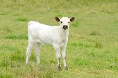 stock photo of longhorn  - Young Texas Longhorn calves in the pasture on a warm summer morning - JPG