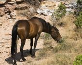 image of open grazing area  - free roaming mustang mare in the Pryor Mountain wild horse range in Wyoming - JPG