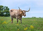 picture of longhorn  - Texas longhorn cattle grazing on green pasture - JPG