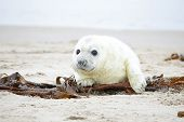 White grey baby seal  looks inquisitively at the beach with big opened eyes