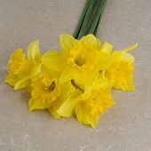 pic of jonquils  - Yellow jonquil flowers bouquet on paper background - JPG