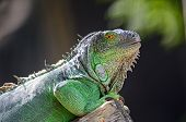 foto of lizard skin  - Female Green Iguana  - JPG