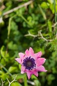 stock photo of rare flowers  - closeup of a rare beautiful flower in the nature of greek island - JPG