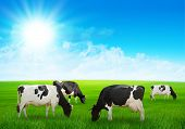 stock photo of cow  - Several cows graze on the green meadow - JPG