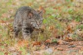picture of bobcat  - Bobcat Kitten  - JPG