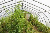 Small plastic covered greenhouse or hothouse interior with tomato plants