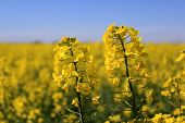 image of rape-field  - photo flower stems rape in the foreground against a background of a field of oilseed rape blurred horizon with blue sky