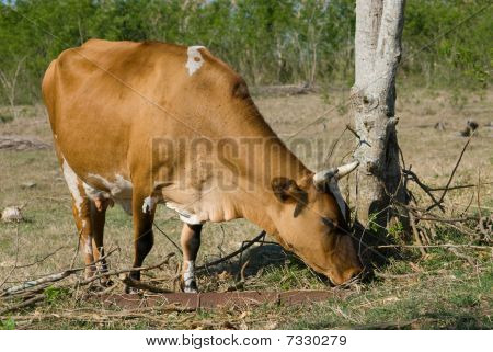 Brown Cow In A Farm (II)