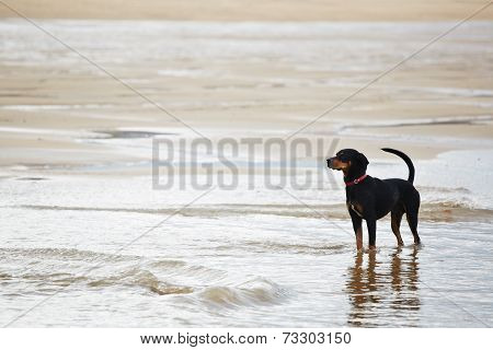 Young black and tan mixed labrador doberman on the walk