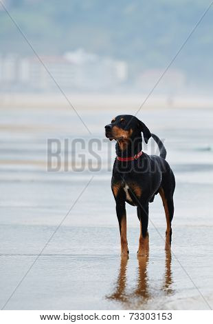 Beautiful and strong doberman standing in ocean beach looking away,black and tan mixed labrador
