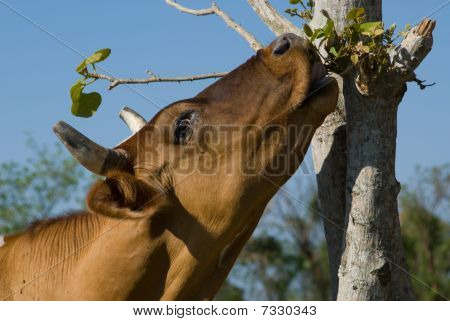 Brown Cow Eating Leafes