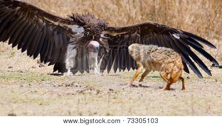 Fight between vulture and wild dog in Africa