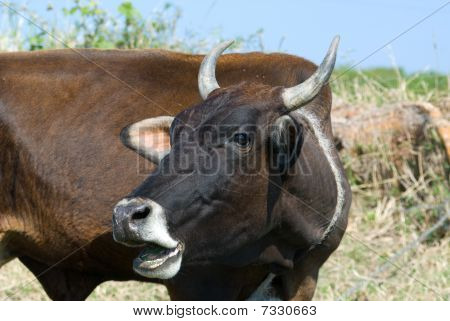 Black Bull With Open Mouth