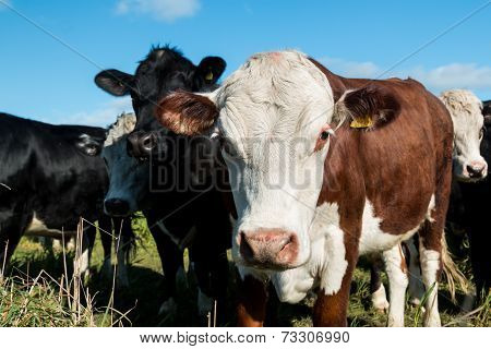 Friendly Cattle