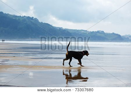 Beautiful and strong doberman walking on the walk outdoors, young and tan mixed labrador doberman