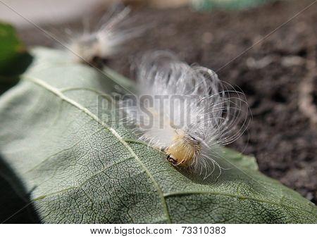 Curly larva