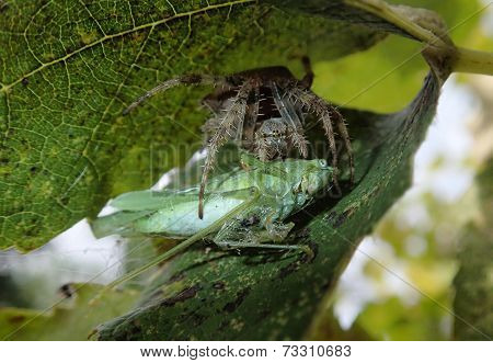 Garden spider eating
