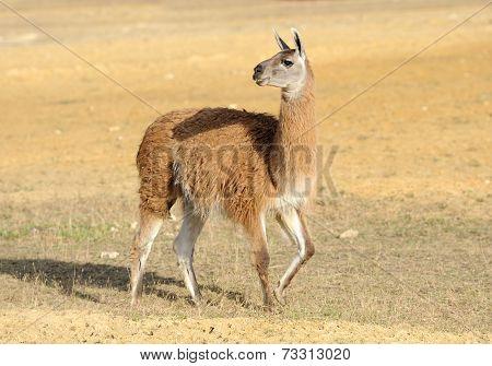 Lama On Nature