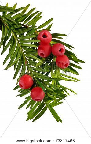 The green yew twig with red yew berries on a white background