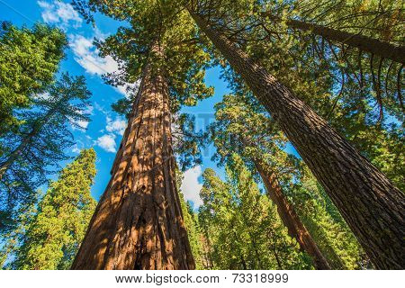 Giant Sequoias