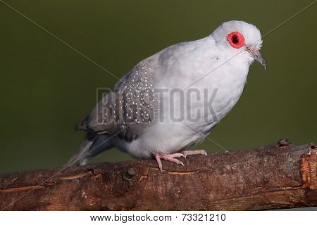 Diamond Dove Portrait