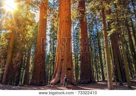 Sequoia Vs Man