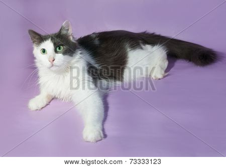 White Longhair Cat With Gray Spots Lying On Purple